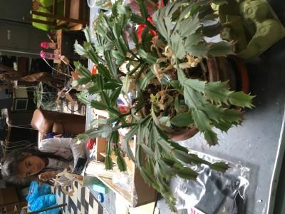 deze plant bestaat eigelijk uit segmenten, zo lijkt ie te groeien, vanuit het ene blad komt het volgende blad
