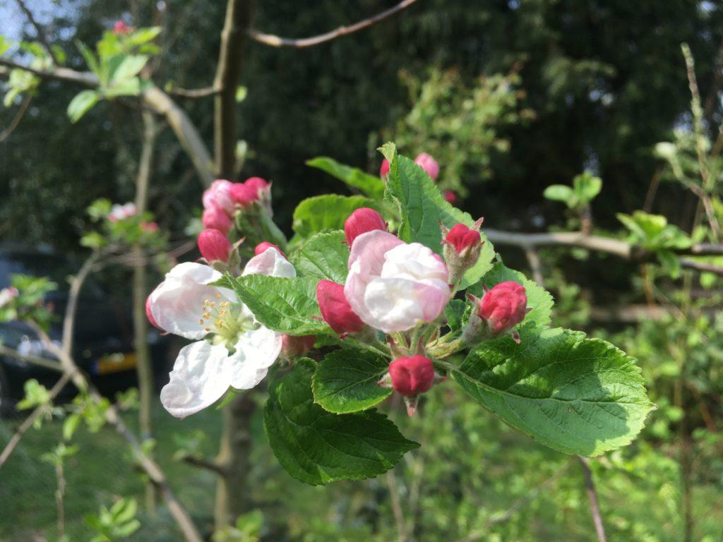 lente, de appelbloesem bloeit