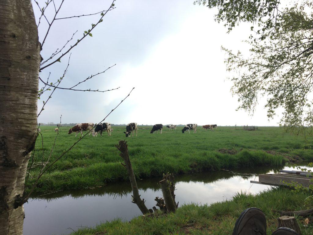 uitzicht op de ROnde Hoep met weiland en koeien